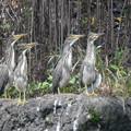 ササゴイ幼鳥-4羽兄弟