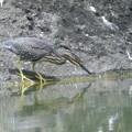 ササゴイ幼鳥-お魚探し