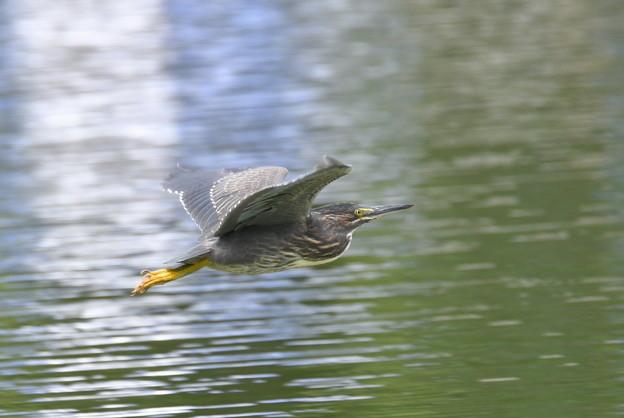 ササゴイ幼鳥-飛翔