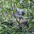 ササゴイ-親鳥-1