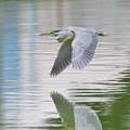 ササゴイ-親鳥の飛翔-1