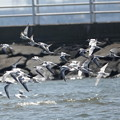 コアジサシ-群れ飛ぶ
