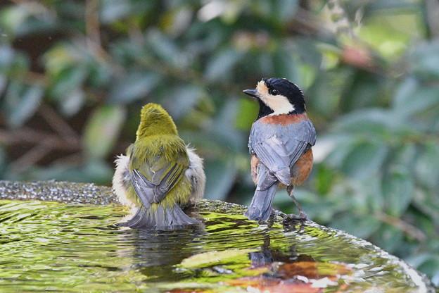 ヤマガラ-水浴-1