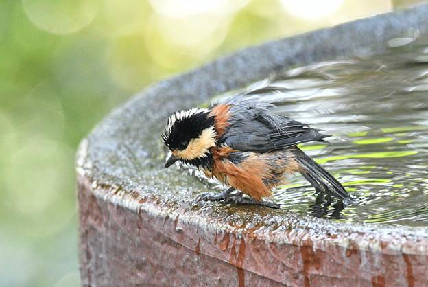 ヤマガラ-水浴-3