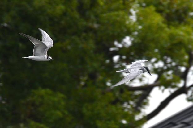 クロハラアジサシ-飛翔-2羽で