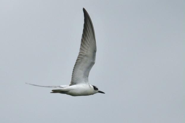 クロハラアジサシ-飛翔b