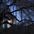 Photos: 月あかりと慈雲寺のイトザクラ