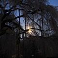写真: 月あかりと慈雲寺のイトザクラ