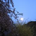 写真: 満月と慈雲寺のイトザクラ