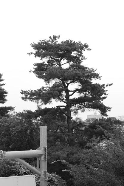 お気に入りの木~モノクロ(1)