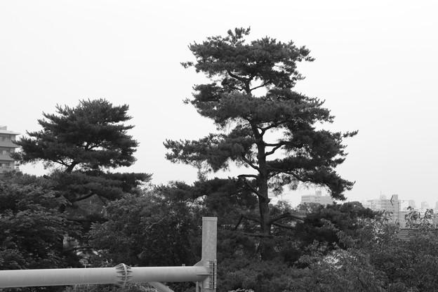 お気に入りの木~モノクロ(3)