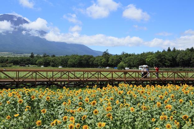 花の都公園のひまわり畑の様子