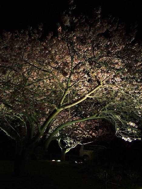 河津桜のライトアップ~2015.2.27