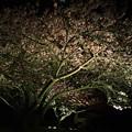 写真: 河津桜のライトアップ~2015.2.27