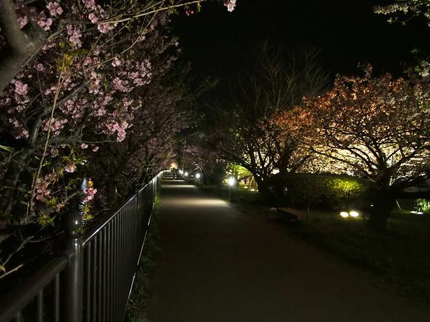 河津桜のライトアップ・遊歩道~2015.2.27