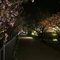 写真: 河津桜のライトアップ・遊歩道~2015.2.27