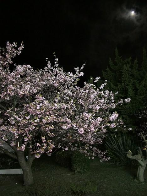 夜の河津桜と月