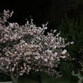 写真: 夜の河津桜と月