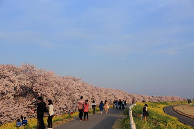 熊谷・桜堤のようす