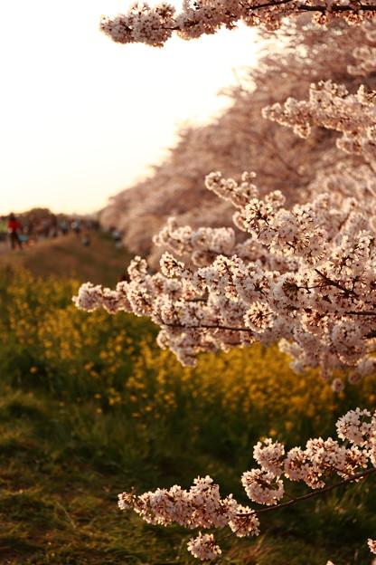 熊谷の桜堤~夕暮れ時
