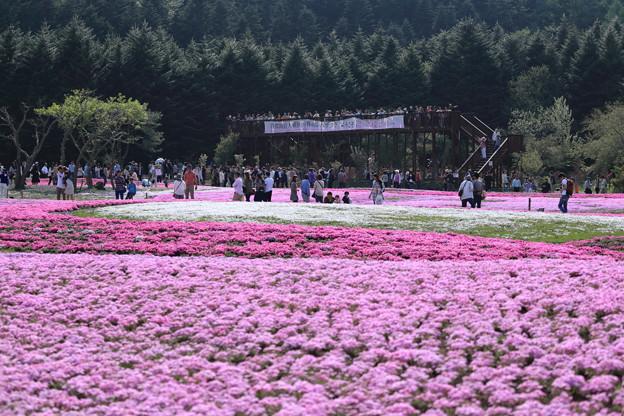 富士芝桜~展望広場方面