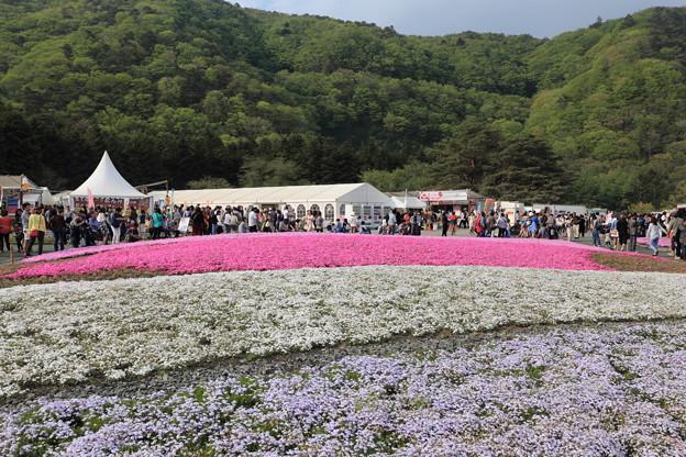 富士芝桜~北方面
