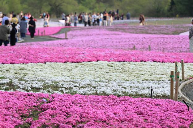富士芝桜~南方面