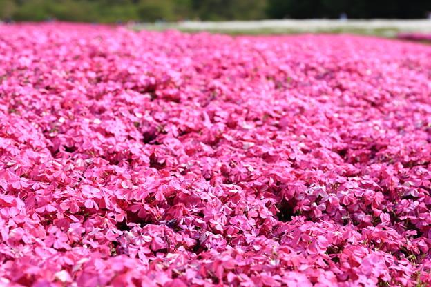 富士芝桜~赤い芝桜