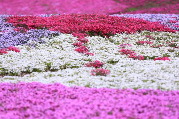 真っ赤な芝桜~スカートフレーム