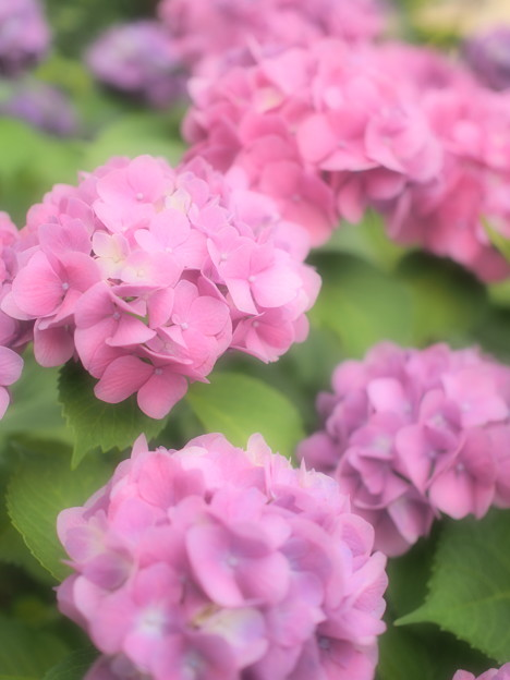 近所の紫陽花~ファンタジックフォーカス
