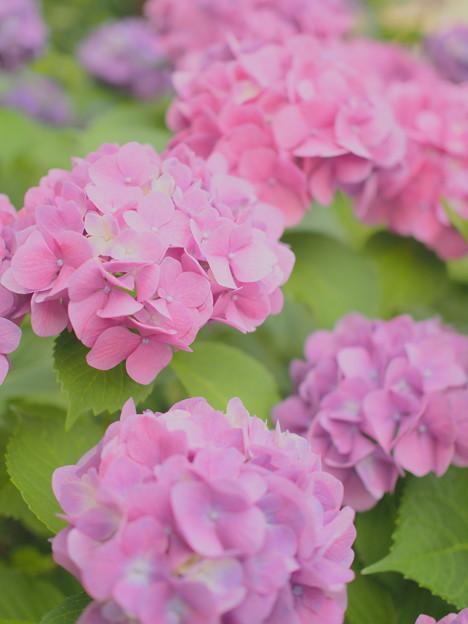 近所の紫陽花~ライトトーン