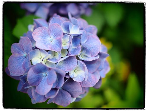 近所の紫陽花~トイフォト