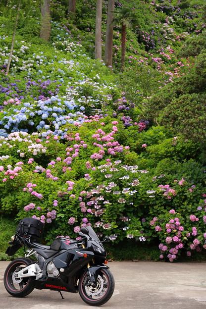 千葉県茂原市のあじさい屋敷