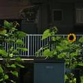青梅街道駅のひまわり~夜~