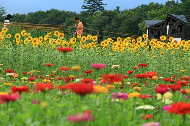百日草とひまわり畑