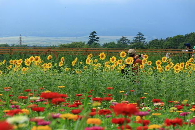 ひまわり畑と百日草