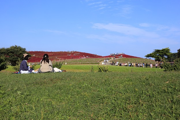 昼下がりのコキアの丘