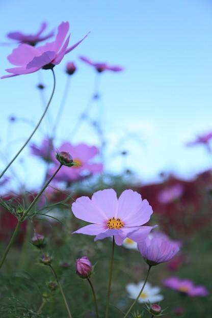 コキアの丘に咲くコスモス