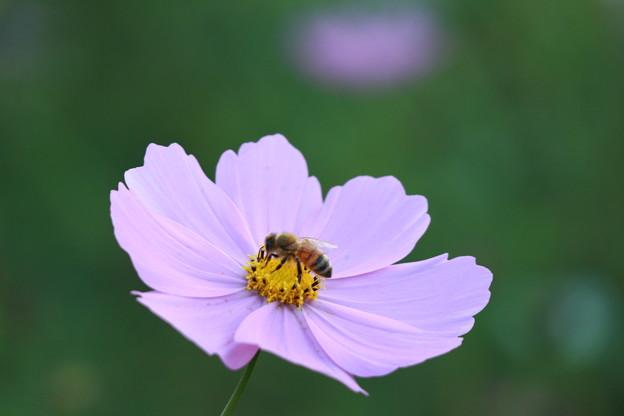 ミツバチとコスモス