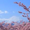 Photos: 河津桜と富士山