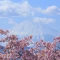 Photos: 富士山と河津桜