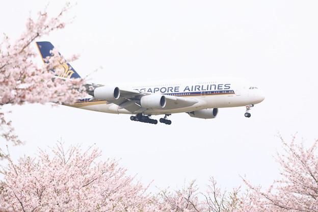 世界最大の旅客機エアバスA380と桜