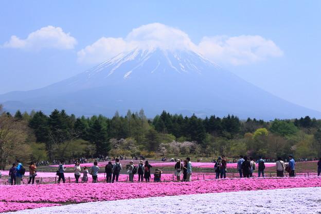 富士芝桜~2016~