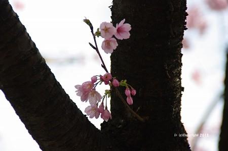 2013桜6178