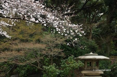 山手桜とチューリップ6217