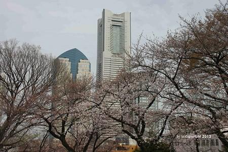 山手桜とチューリップ6219