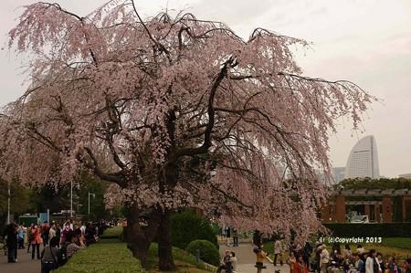山手桜とチューリップ6298
