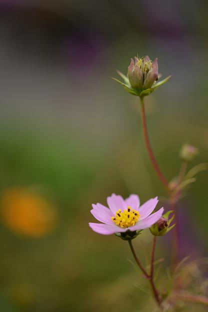 Photos: まだコスモスが咲いていました