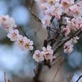 Photos: 梅が咲きました