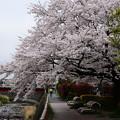 もう少し桜を楽しみたくて